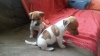 2 Tan and White Short Legged Jack Russell Puppies